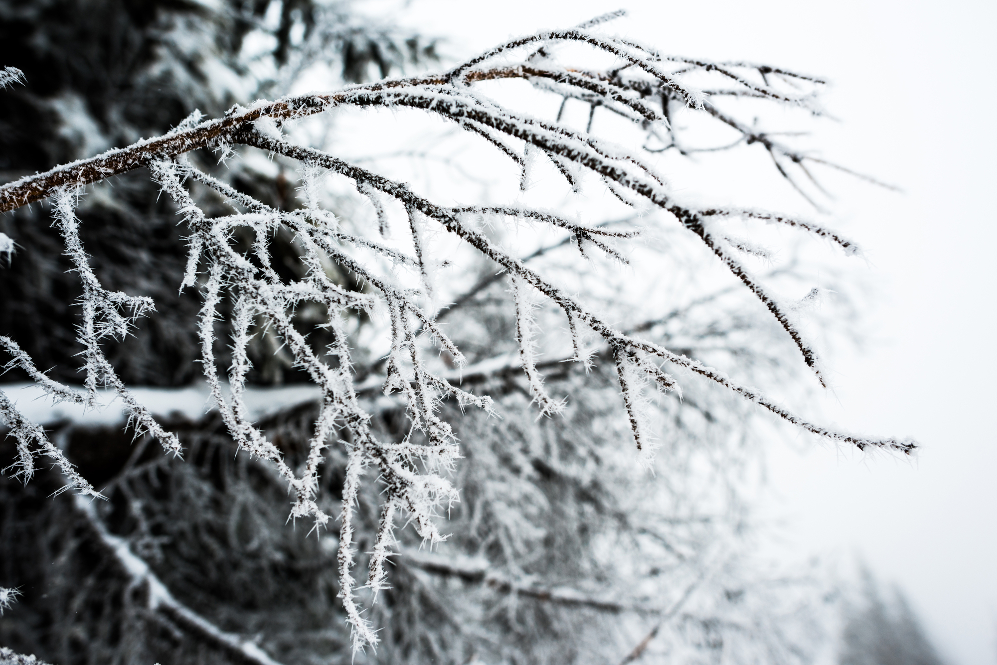 Close up view of branches of tree covered with snow in winter